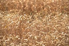 Straa (Svendborgphoto) Tags: field nikkor nikon nature nikkorais 300mm ifed denmark d800 dof bokeh