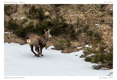 Massif du Sancy - Le chamois (BerColly) Tags: france auvergne puydedome sancy animal chamois mammifere mamal snow neige montagne mountain bercolly google flickr