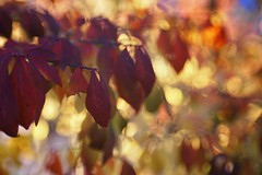 dancing sunlight (gwuphd) Tags: zeiss tessar 70mm f35 bokeh sunlight leaves