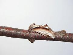 Lesser Swallow Prominent Moth (Pheosia gnoma) (Nick Dobbs) Tags: lesser swallow prominent moth pheosia gnoma insect notodontidae notodontinae dorset nocturnal heath heathland