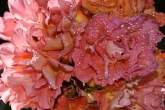DSC_7264 (griecocathy) Tags: plante rosier rose gouttelette eau éclat oranger jaune pétale lumineux macro