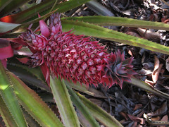 Immature Pineapple (David Y. Allen) Tags: pineapple fruit flowers annascomosa san diego botanic garden encinitas california