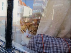 Animal abuse: man who is drinking a hangover because his wife is not of the cat. (~Ingeborg~) Tags: meinge haarlem walkwithfrank acosyday asunnyday poes cat redcat mustachecat snorrendepoes rodepoes relaxen window raam reflections reflecties spaarnwouderstraat curtain gordijn pillow kussen ennueenborrel andnowadrink♥ withwineandbitterballen metwijnenbitterballen