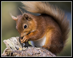 IMG_0074 Red Squirrel (Scotchjohnnie) Tags: redsquirrel sciurusvulgaris squirrel squirrelphotography rodent mammal wildanimal wildlife wildlifephotography wildandfree nature naturephotography naturewildlifeandbirds canon canoneos canon7dmkii canonef100400f4556lisiiusm scotchjohnnie