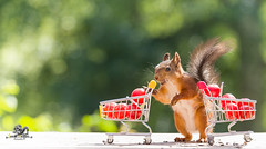 red squirrel is behind an shopping cart (Geert Weggen) Tags: agriculture animal backgrounds closeup colorimage crop cultivated cute dirt environment environmentalconservation environmentaldamage environmentalissues food freshness gardening global greenhouse growth harvesting healthyeating horizontal humor lifestyles mammal nature newlife nopeople organic outdoors photography planetspace planetearth plant pollution red rodent seed socialissues springtime squirrel summer tomato vegetable garden shoppingcart bispgården jämtland sweden geert weggen ragunda hardeko