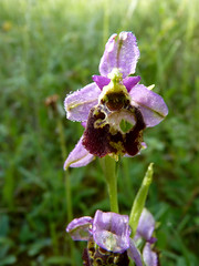 Ophrys Abeille (Nemorivagus-Nature) Tags: orchidaceae collectionnerlevivantautrement flore ophrysapifera ophrys meuse lorraine vilosnesharaumont
