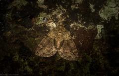 Polyclysta hypogrammata (dustaway) Tags: arthropoda insecta lepidoptera geometridae larentiinae polyclystahypogrammata australianmoths geometermoth geometridmoth australianinsects victoriaparknaturereserve dalwood alstonvilleplateau nature northernrivers nsw australia