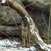 Minnesotta Zoo 12-20-2014 - Cougar 2