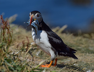 Puffin ( papegaaiduiker) Isle of Lunga