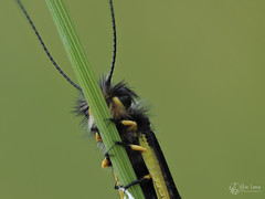 Ascalaphe FS MKII (Olympus Passion eric leroy) Tags: vert macro proxi omd em1 mkii zuiko 60macro ascalaphe