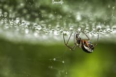 Bajo mi paraguas - Under my umbrella (danielfi) Tags: macro spyder araña naturaleza nature animales animals lluvia rain gotas drops wildlife fauna ngc