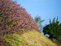 zetevsivke_27 (carlo) Tags: panasonic g9 dmcg9 slovenija slovenia brda goriškabrda colliosloveno lavanda sivka lavender lavendel