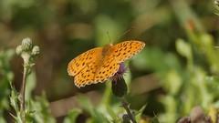 Butterfly - 5507 (ΨᗩSᗰIᘉᗴ HᗴᘉS +23 000 000 thx) Tags: macro butterfly papillon nature hensyasmine namur belgium europa aaa namuroise look photo friends be wow yasminehens interest intersting eu fr greatphotographers lanamuroise tellmeastory flickering