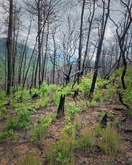 Rebirth, Great Smoky Mountains National Park, Tenessee, Summer 2018 (bdrameyphotography) Tags: greatsmokymountainsnationalpark tennessee forestfire aurorahdr2018 nikond810 skylum