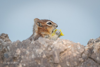 Golden Mantled Ground Squirrel with a snack 501_1531.jpg