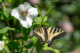 Western Tiger Swallowtail (20180629-DSC00196)