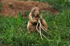 My lunch is better than yours... (@Katerina Log) Tags: plant plairiedog food grass ground sonyilce6500 wildlife wild nature natura attikazoopark depthoffield bokeh katerinalog rodents animal