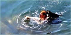 Happy summer ! je m'échappe quelques jours... (Save planet Earth !) Tags: summer été baignade chien dog italie cinqueterre amcc nikon