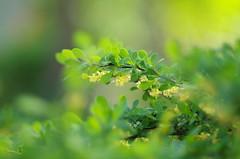 Oh, that green... (Baubec Izzet) Tags: baubecizzet pentax bokeh flower green nature spring flickrunitedaward