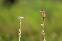 Malachite Kingfisher (Mujtaba Hussain Shah) Tags: malachite kingfisher river corythornis cristatus africa kenya