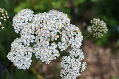 Yarrow (gabi-h) Tags: yarrow whiteflowers garden gabih blooms blossoms petals flowers summer
