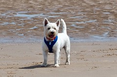 Sunny (Artybee) Tags: samson sunny fun beach sea splash westie westitude west highland white do lincolnshire mablethorpe