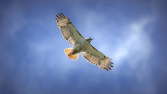 Red-Tailed Hawk (learnliveinspire) Tags: hawk redtail birdsofprey ny longisland wildlife animals nature outdoors sky clouds flight hunting beauty majestic