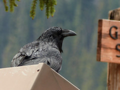 03 Common Raven at Bow Lake (annkelliott) Tags: alberta canada icefieldsparkway bowlake nature ornithology avian bird raven commonraven corvuscorax corvid backsideview omnivorous intelligent adult perched garbagecan sign forest tree trees bokeh outdoor summer 23june2018 fz200 fz2004 panasonic lumix annkelliott anneelliott ©anneelliott2018 ©allrightsreserved
