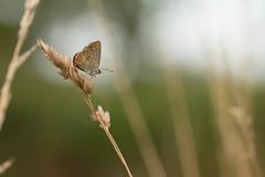 Dans la lumière du matin - In the morning light (Explored 2018-07-22) (Gisou68Fr) Tags: azuré azurécommun commonblue papillon butterfly canoneos650d