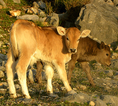 I had a friend, and we always used to pretend to be twins. (The Man in the Maze) Tags: nature wilderness animals calves auruncimountains aurunci trekking hiking italy