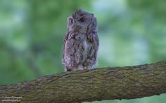 Eastern Screech Owl (salmoteb@rogers.com) Tags: bird wild outdoor nature wildlife ontario canada toronto perch tree w