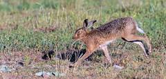 Brown Hare on the run. (Steve (Hooky) Waddingham) Tags: stevenwaddinghamphotography animal countryside nature wild wildlife run fast photography chase