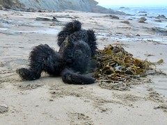 """Blissful at the Beach""  by Benni (Bennilover) Tags: joy seaweed kelp rolling smelly fishy slimy sandy fun lagunabeach benni labradoodle dog 52weeksfordogs"