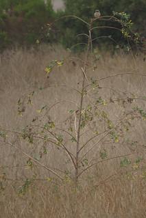 Loggerhead Shrike on the Tree Tobacco