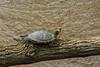 Sun Bathing Turtal - 041318-234845 (Glenn Anderson.) Tags: turtal sunbathing spring sunshine log water riverneuseriver claws shell nature animal warming