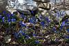 Over the Garden Wall (brucetopher) Tags: spring flowers flower blue light garden colorful warmth sunlight sunshine sun beauty delicate season changeofseason rock wall rockwall granite stone stones edge lane border