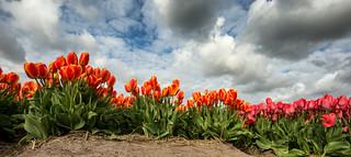 Dramatic tulips landscape