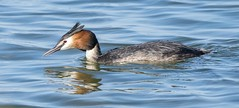 Dungeness Great Crested Grebe