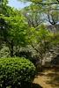 Maple at castle wall (theq629) Tags: tree plant maple japan kyushu fukuoka 福岡