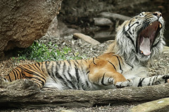 Sleepy Kitty (Southern Darlin') Tags: tiger sumatran endangered yawn mouth teeth stripes cat bigcat panthera tigris carnivore felid feline photography photo animal mammal predator wild wildlife nature zoo