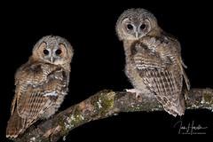 Tawny Owlet (Ian howells wildlife photography) Tags: ianhowells ianhowellswildlifephotography wildlife wales wildlifephotography wildbird wild springwatch tawnyowl tawny owl owlets nature naturephotography