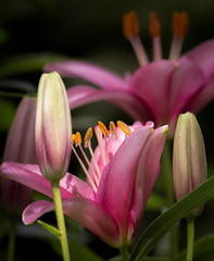 Pink Lilies and Buds (mahar15) Tags: plant blooms nature flower outdoors lilies summer lilium asiaticlilies