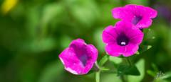 Purple angel (Nafis Tiham) Tags: flower color beauty love green nature wildlife plants euphoria