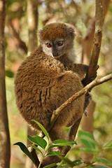 IMG_8451 Eastern lesser bamboo lemur (Hapalemur griseus) (Kalina1966) Tags: madagascar animals lemur