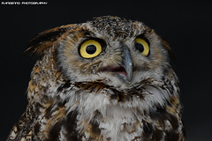 African Eagle Owl - Falconry Fair (Mandenno photography) Tags: animal animals african eagle owl owls falconry fair ngc nederland nature netherlands roofvogels bird birds birdofprey zoo