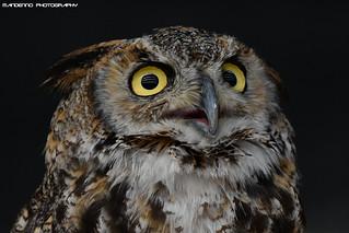 African Eagle Owl - Falconry Fair