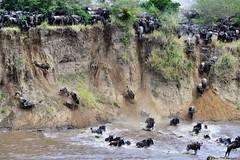 Migration (@Mark_Eveleigh) Tags: africa kenya travel kenyan safari wildlife animal adventure masaimara maasai masai morani mara wildebeest migration