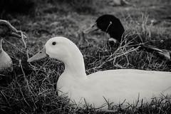 Cuack (arielmarti) Tags: pato duck bird nature naturaleza blanco negro white black whiteblack blackwhite blanconegro
