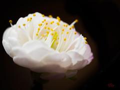 Flowering Apricot (eggwah123) Tags: flower floweringapricot flowerbuds flowering bokeh blossom bloom blooms blooming macro mzuiko40150mm 40150mmf28 mzuiko40150mmf28 mzuiko40150mmf28pro olympus olympusprolens olympusmzuiko depthoffield lightroom microfourthirds m43 em1 olympusem1 omdem1 zoomlens mirrorless