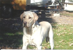 Amos (papassa) Tags: amos yellow labrador standing staring